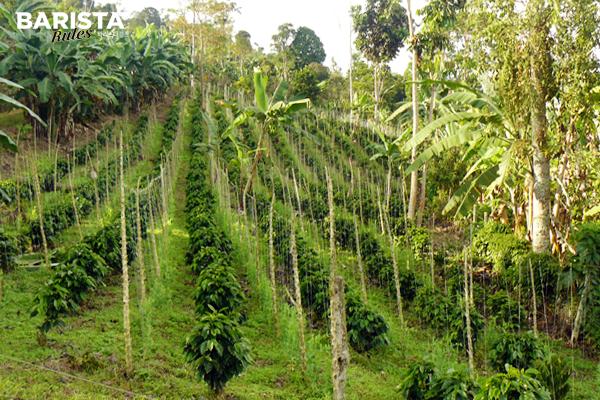 그늘 경작법을 이용하는 커피 농장