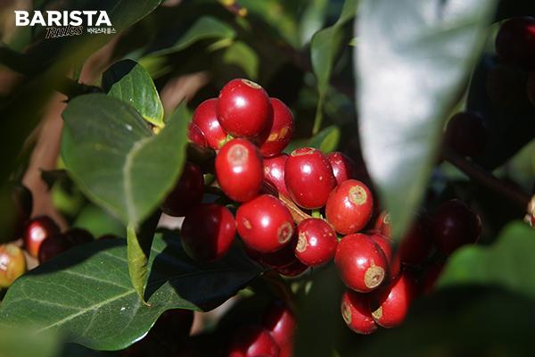 커피체리_coffee cherry